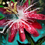 Pasiflora karkinata